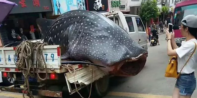 Chinese Fishermen Drive Massive Whale Shark Through City Before Arrest