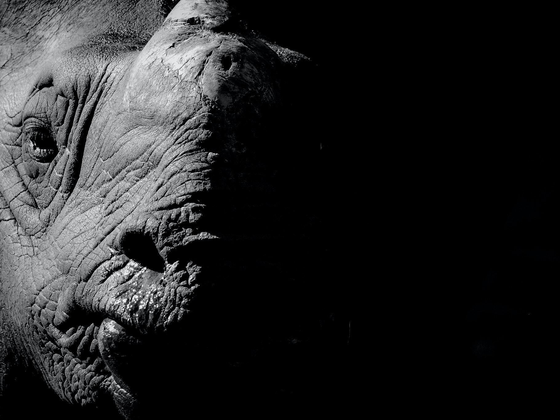 Sequencing the Black Rhino Genome Could Save the Species From Extinction