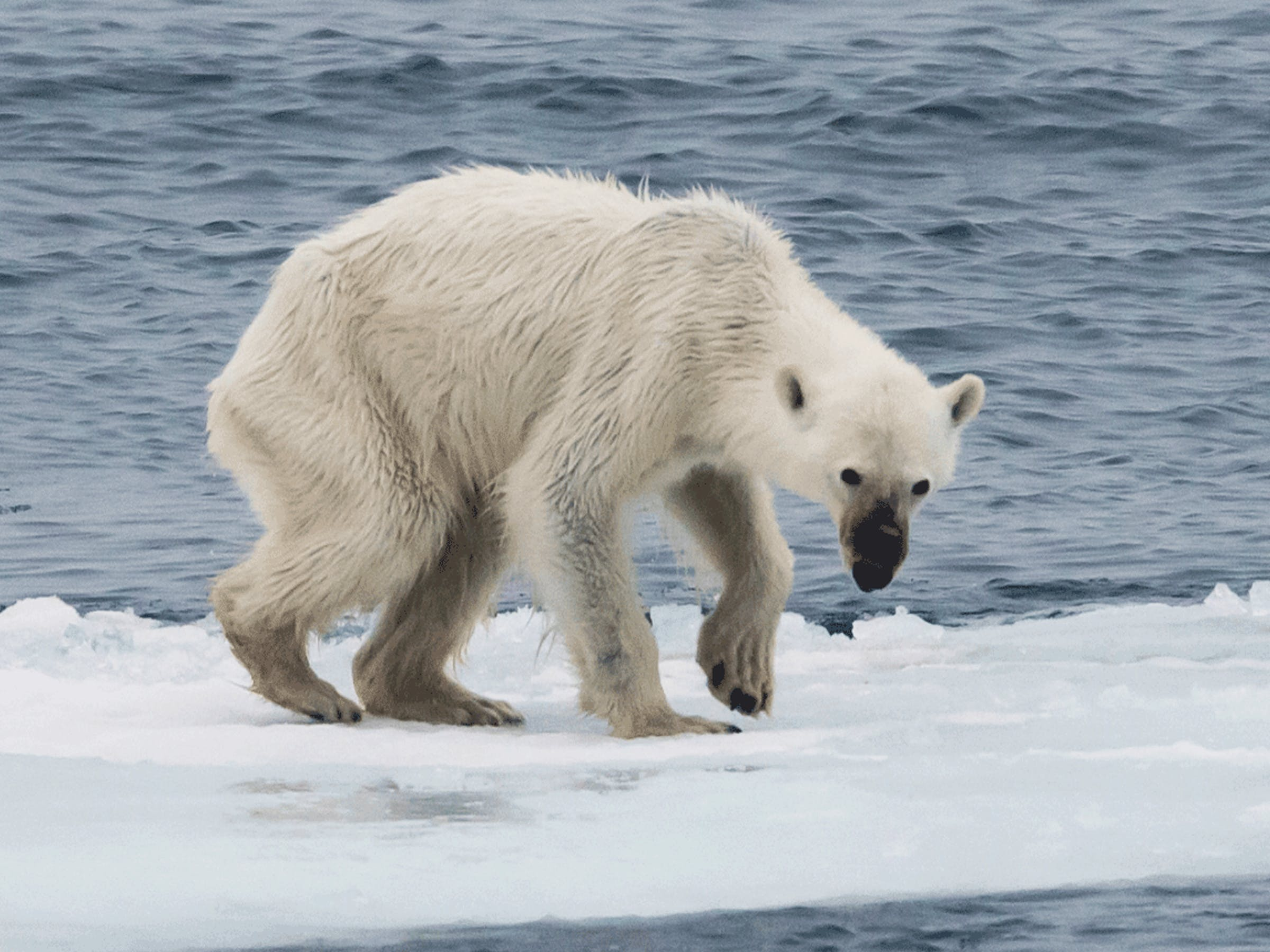In summer, some polar bears do not make the transition from their winter residence on the Svalbard islands to the dense drift ice and pack ice of the high arctic where they would find a plethora of prey. This is due to global climate change which causes the ice around the islands to melt much earlier than previously. The bears need to adapt from their proper food to a diet of detritus, small animals, bird eggs and carcasses of marine animals. Very often they suffer starvation and are doomed to die. The number of these starving animals is sadly increasing.