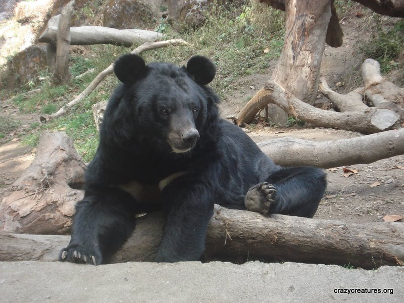 Despite their large size (100-150kg), these Asian (also Himalayan) Black Bears are arboreal, i.e. they like to live in trees. They spend about half their life in trees, with only a few old chubby ones becoming too heavy to climb them! Find out about many different animals at www.crazycreatures.org