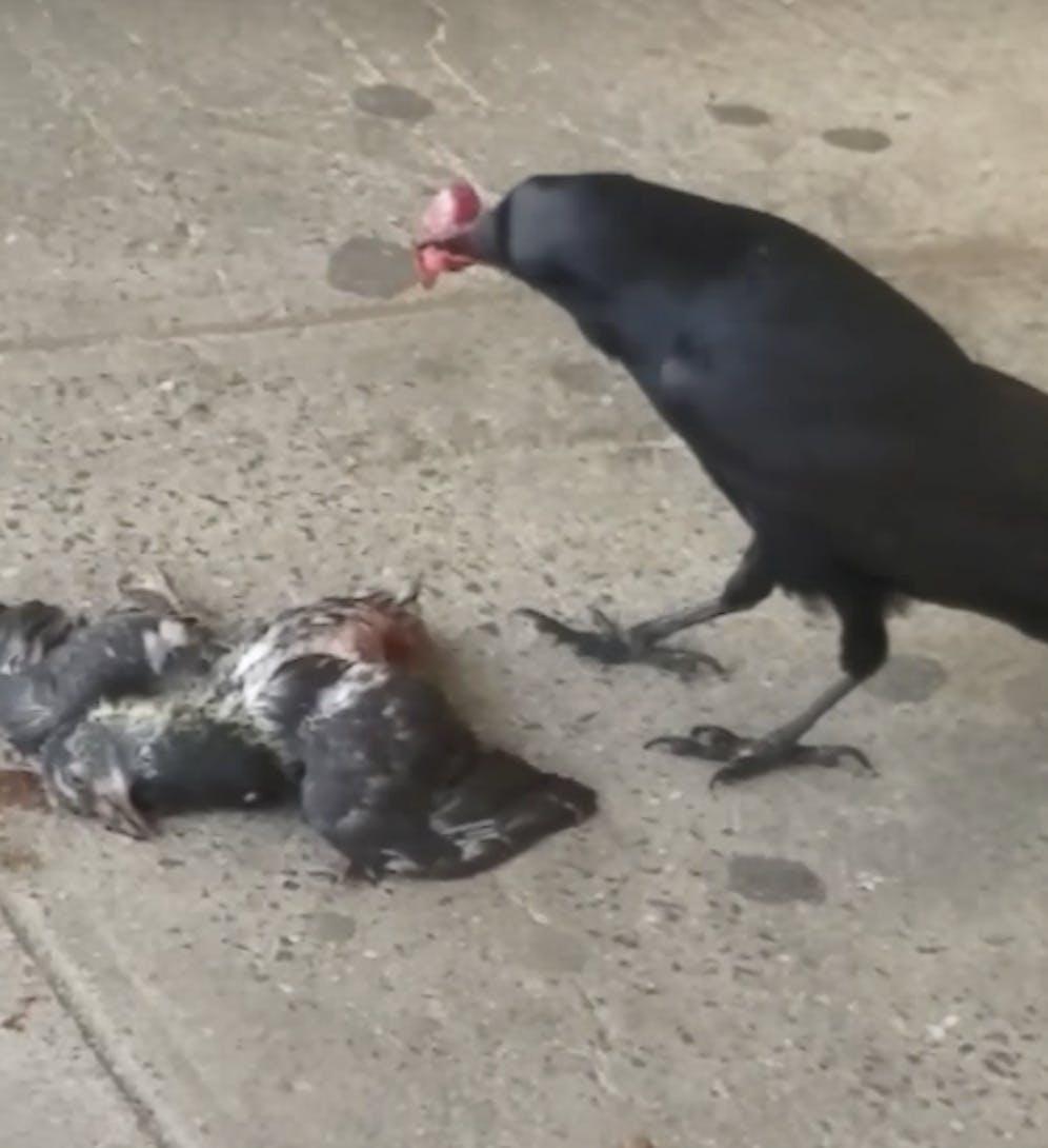 Crow heart pigeon gizzard