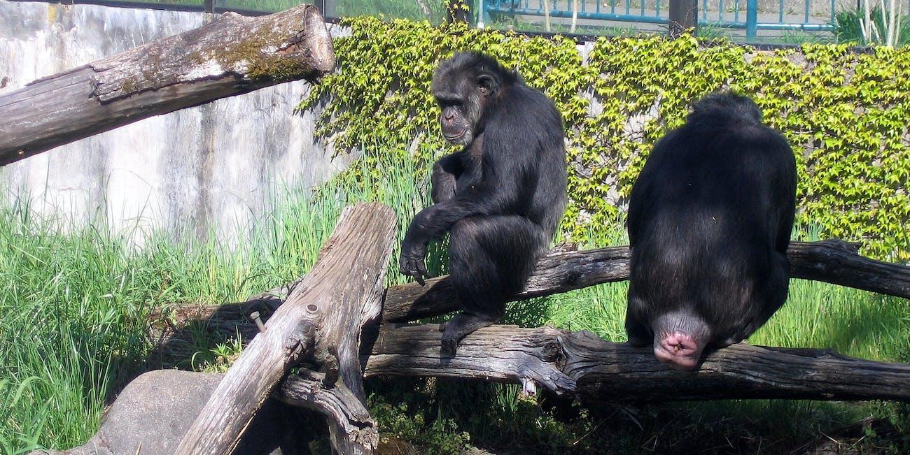 Zoo 03 - Chimp Butt