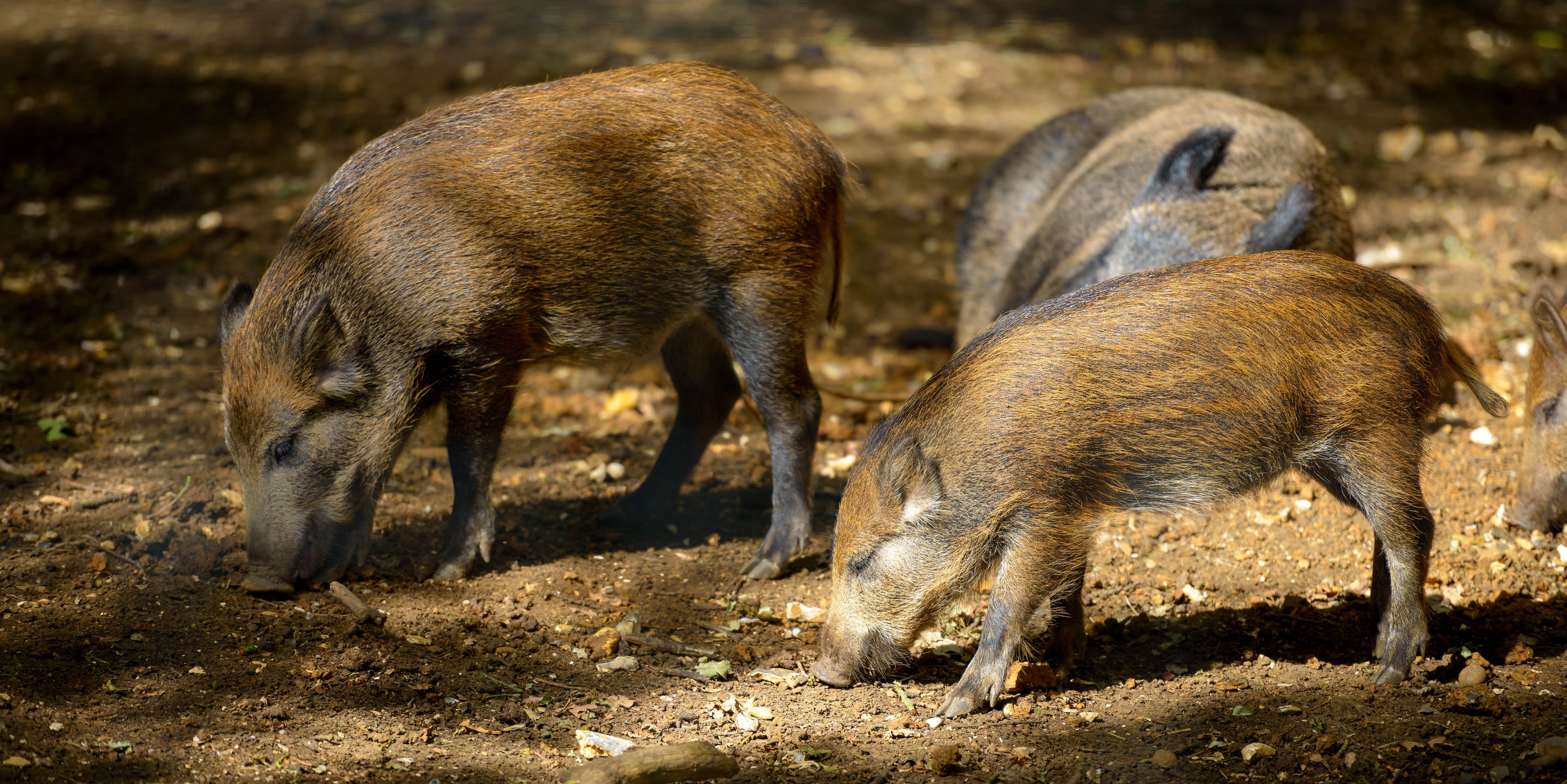 Parasite Found in California Boar Meat Can Literally Make Your Eyes Bleed