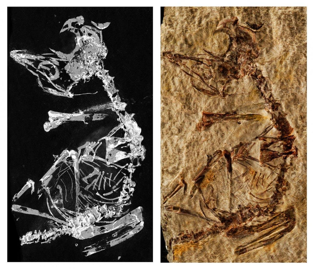Bird, fossil