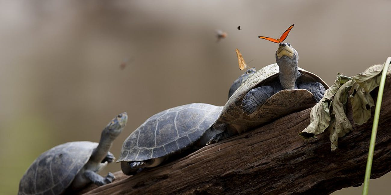 A butterfly feeds on the tears of a turtle, one of many lachryphagous relationships known to scientists.