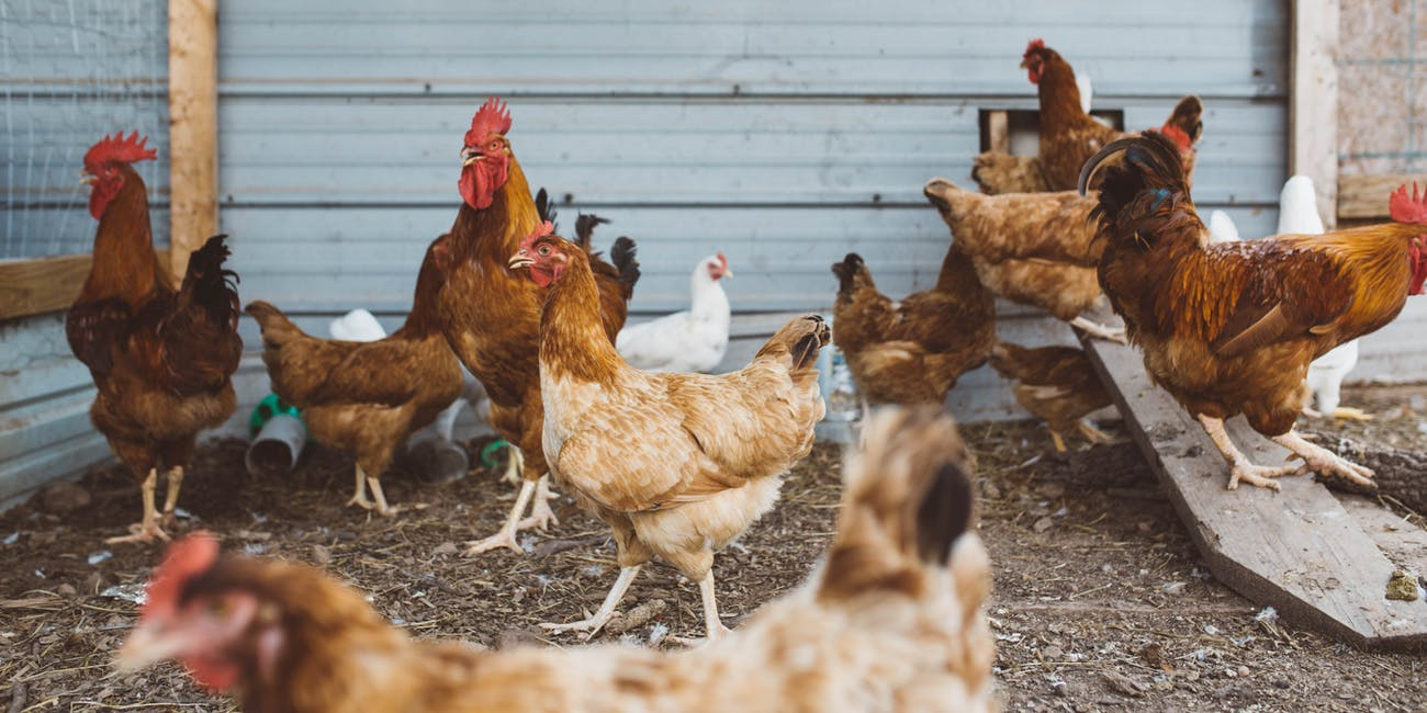 In lower-income countries, antibiotic resistance in chickens increased significantly over just 18 years.