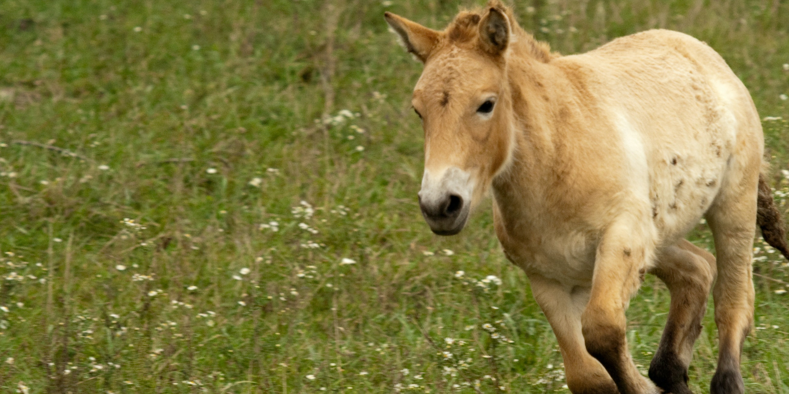 Przewalski S Horses Long Considered Wild Are Actually