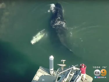 Watch: Massive Humpback Whale Gets Stuck in California Harbor