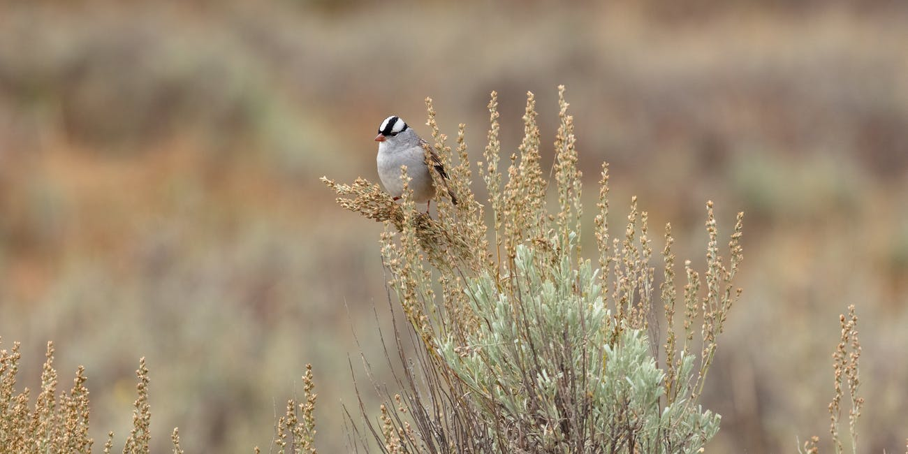 white-crowned sparrow perched on sagebrush