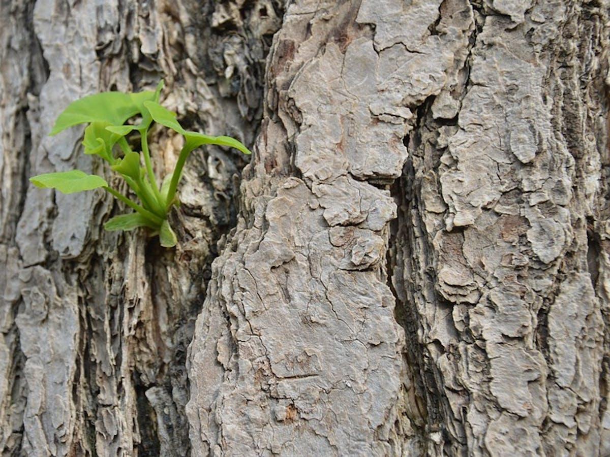 gingko tree leaves