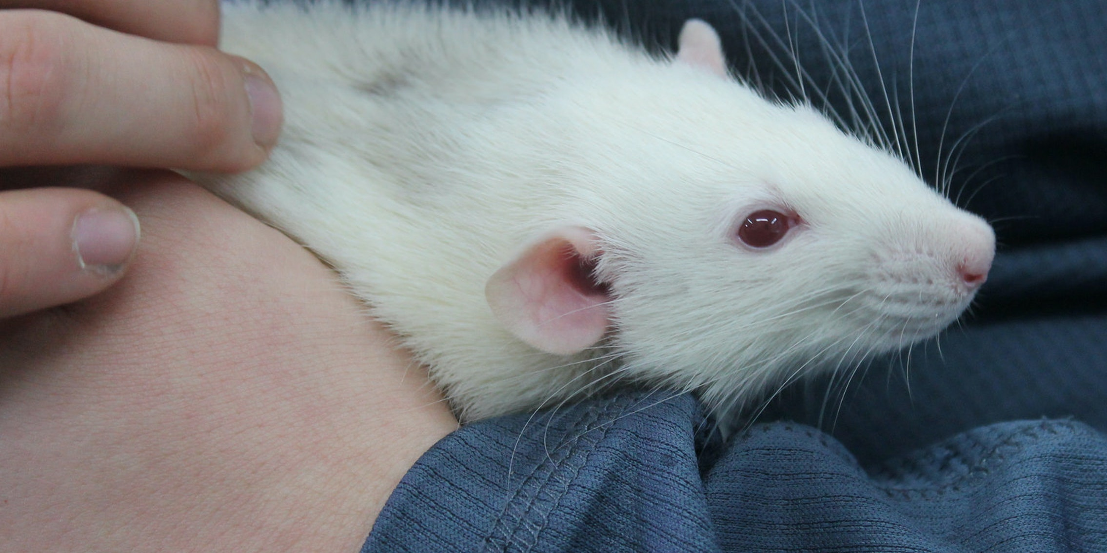 Why Scientists Are Tickling Lab Rats