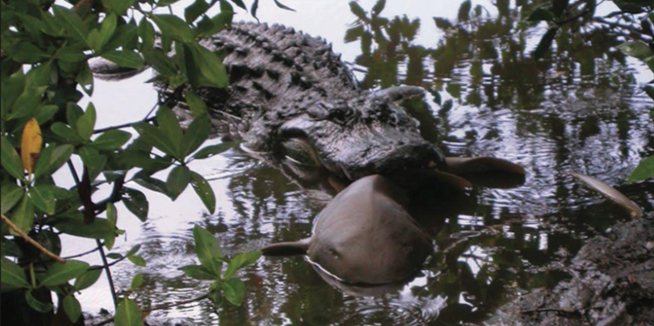 alligator eating a shark