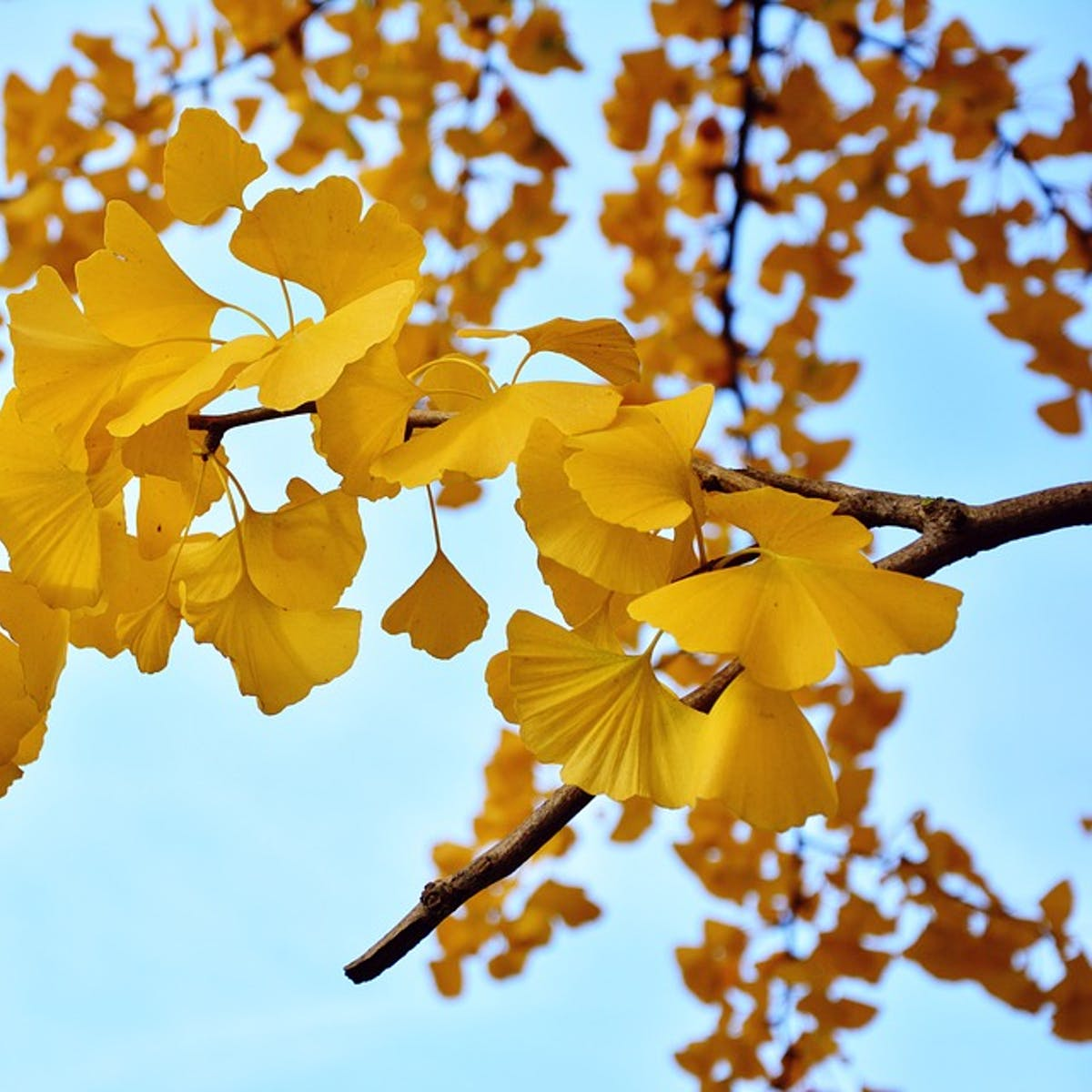 "73 Years Later, the 'A-Bomb"" Gingko Trees Still Grow in Hiroshima"
