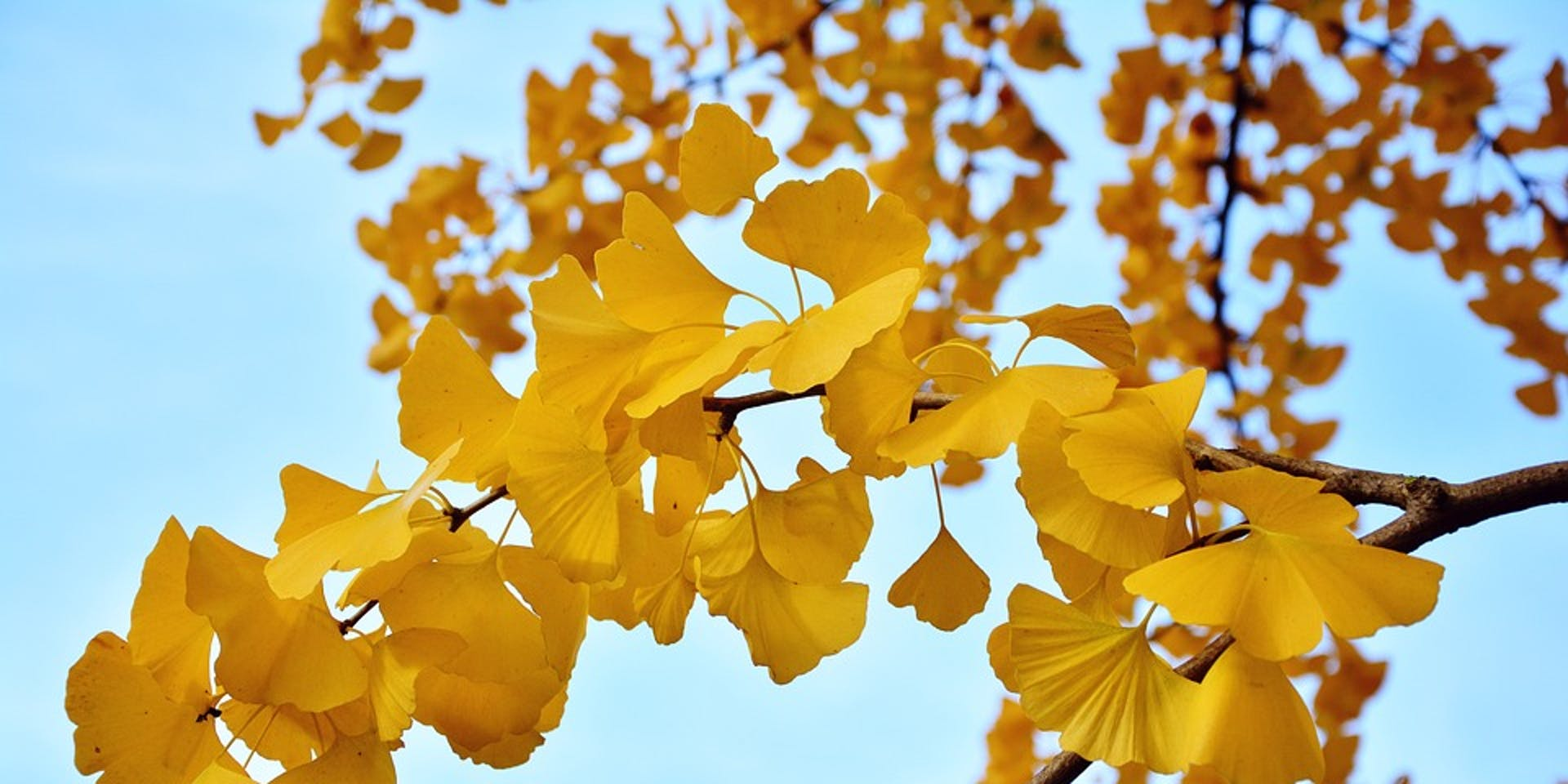 gingko tree autumn