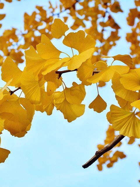 "73 Years Later, the ""A-Bomb"" Ginkgo Trees Still Grow in Hiroshima"