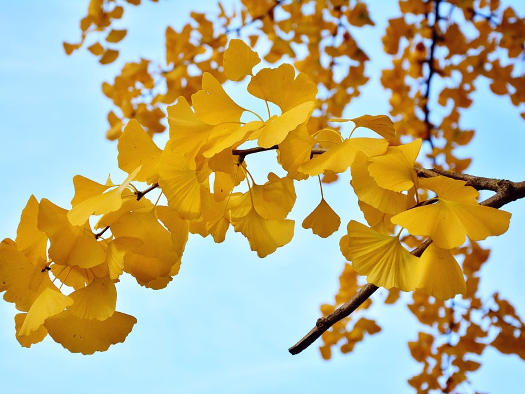 gingko tree autumn