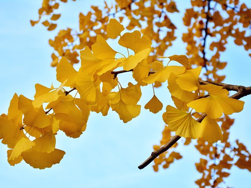 """73 Years Later, the 'A-Bomb"""" Gingko Trees Still Grow in Hiroshima"""
