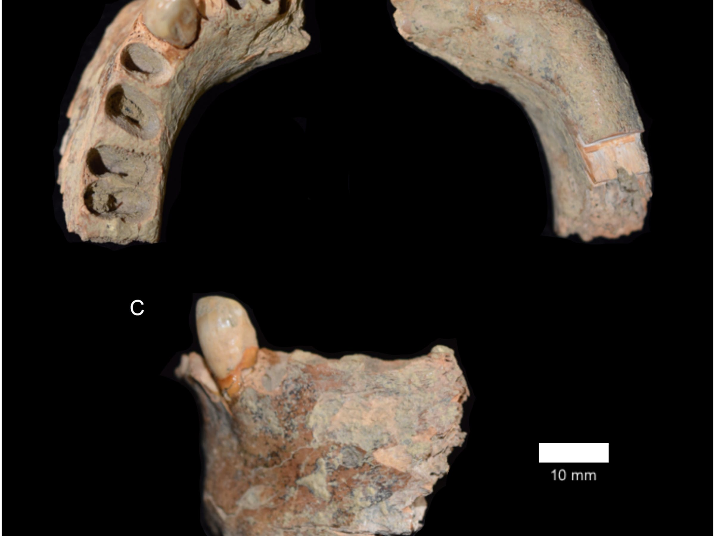 "Fig 3. Human mandible D/N5 42–48"" from the West Mouth of the Niah Caves."
