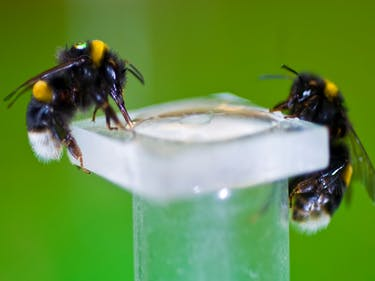 Nicotine Turns Bees Into Nectar-Sucking Addicts