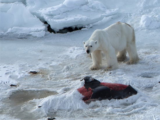 Polar Bears Now Skinny Dolphin-Eating Death Angels of Climate Change