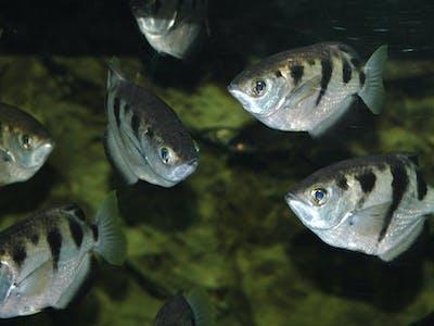 Scientists Prove Archerfish Distinguish Human Faces Despite General Stupidity