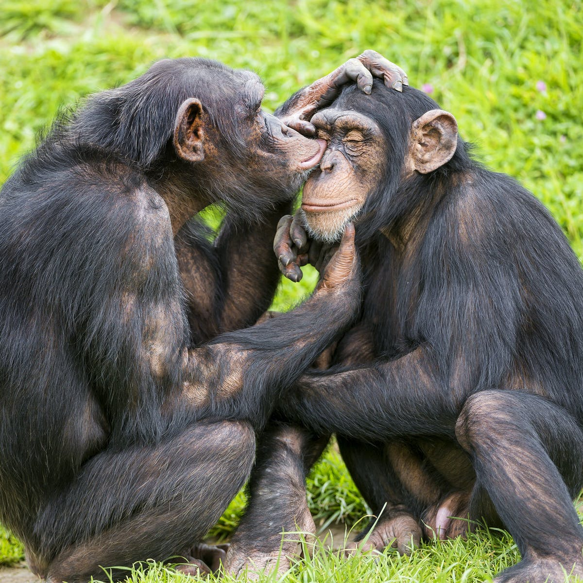 Chimpanzee Hoots and 'Copulation Screams' Reveal Roots of Human Language