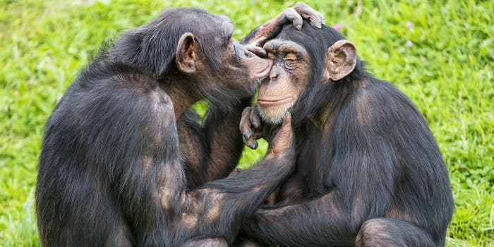 Young chimps talking to each other.