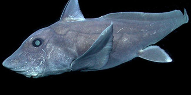 The ghost shark is caught on camera for the first time.