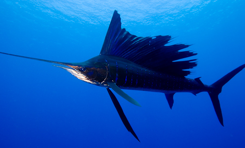 No surprise here -- the planet's fastest swimmers, like this sailfish, are completely hairless.