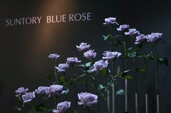 blue rose purple rose suntory brewing company roses