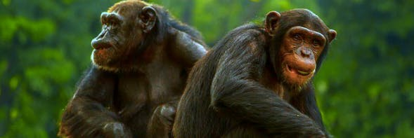 Chimps use grooming to get socially ahead.