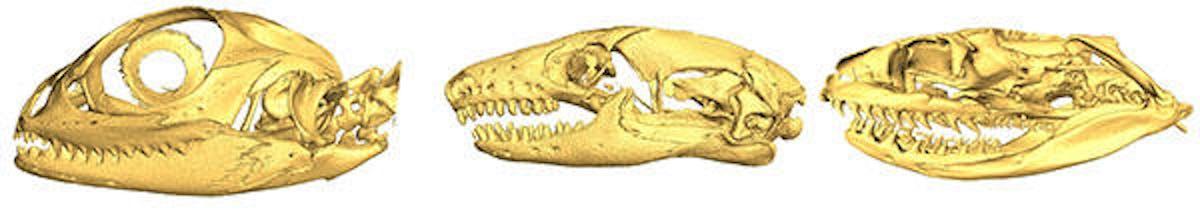 snake skulls