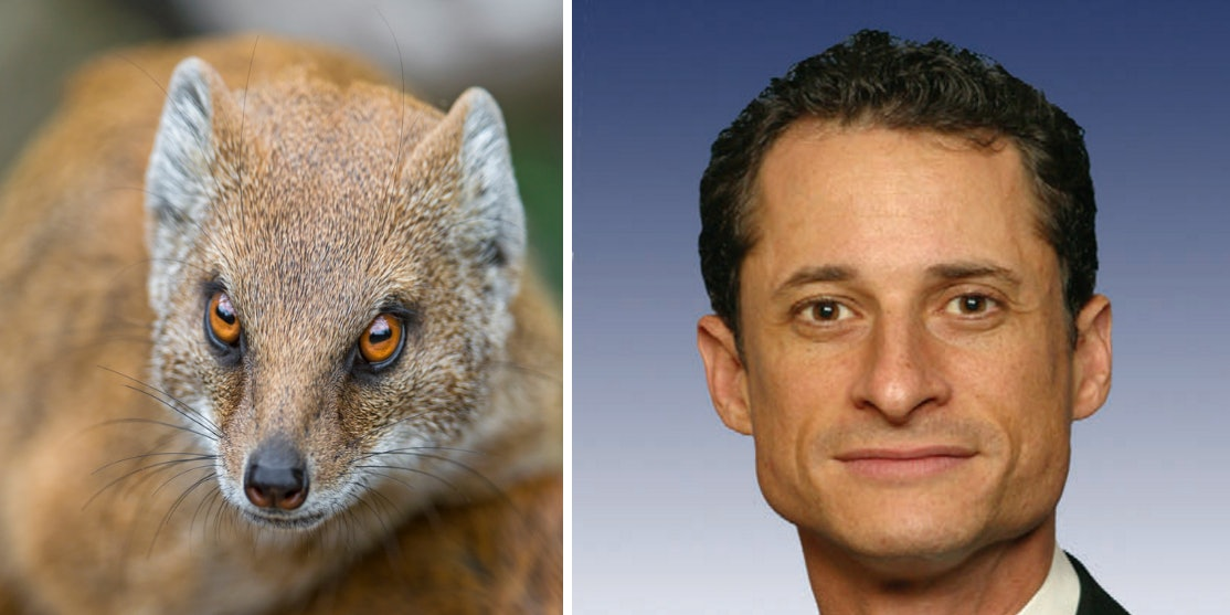 Anthony Weiner and a mongoose.