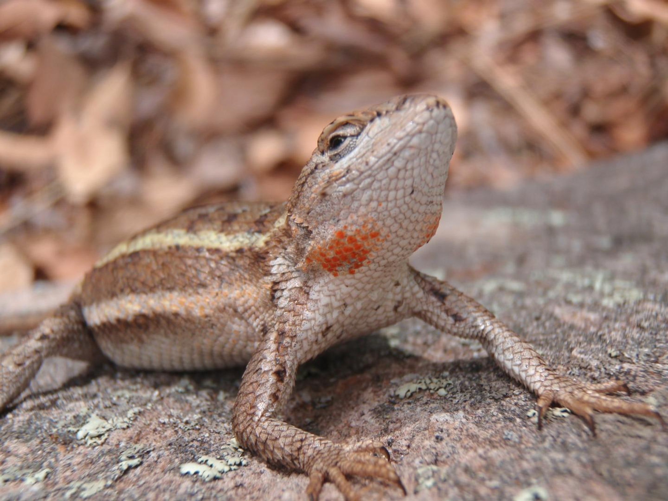 Female striped plateau lizards from Arizona develop orange patches on their throats when they are ready to mate. Males prefer females with darker orange spots, a signal that they have higher-quality eggs.