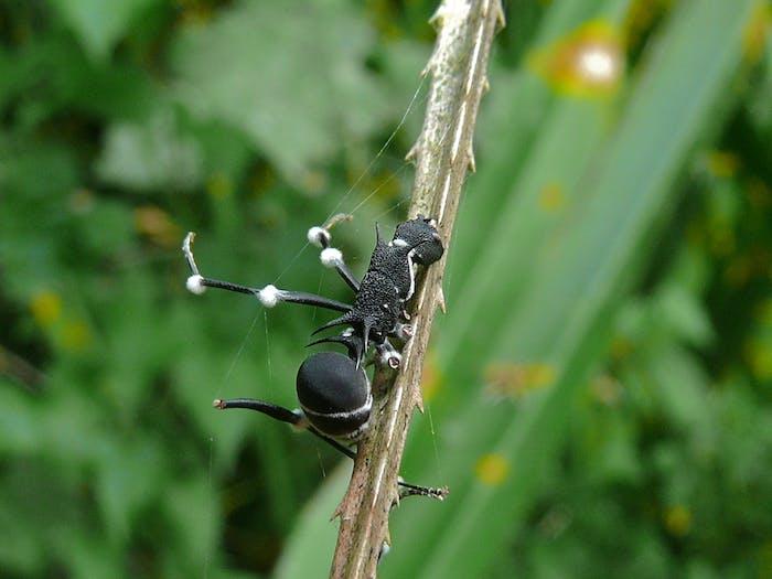 Maraudeur Ant (Polyrhachis armata) infected by Cordyceps