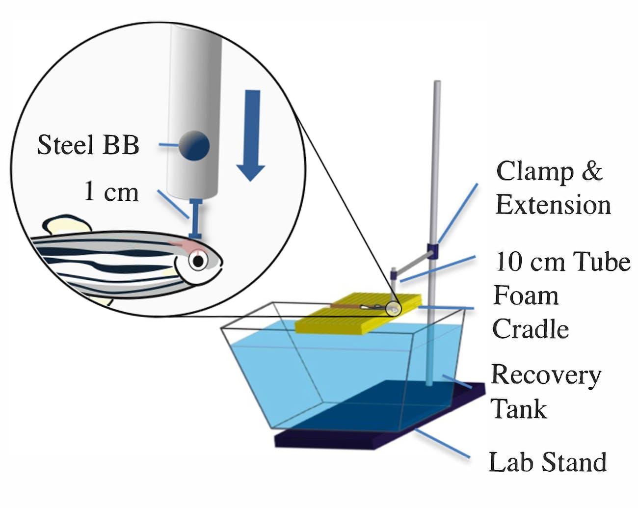 zebrafish concussions