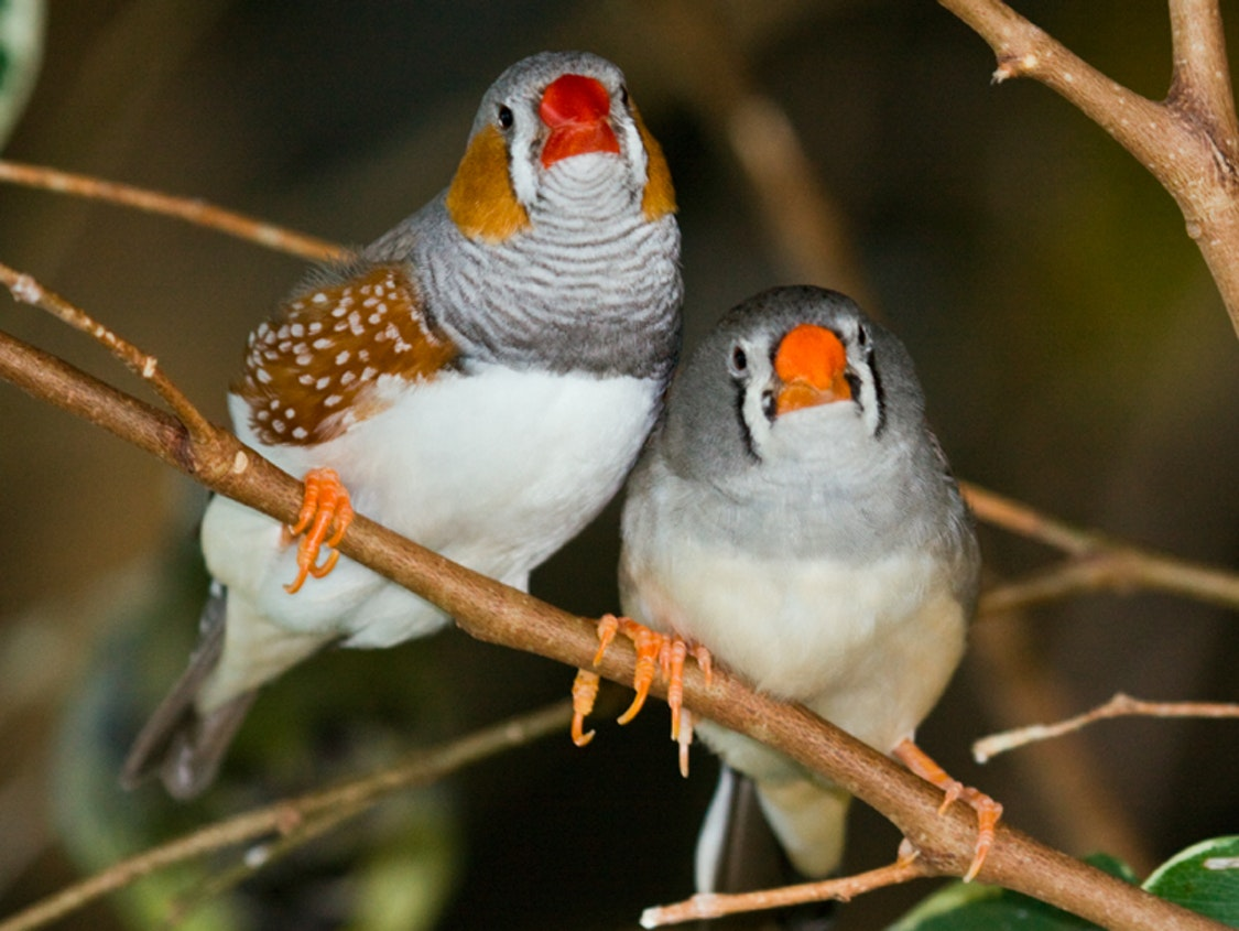 Like Humans, Birds Don't Do Well in Arranged Marriages