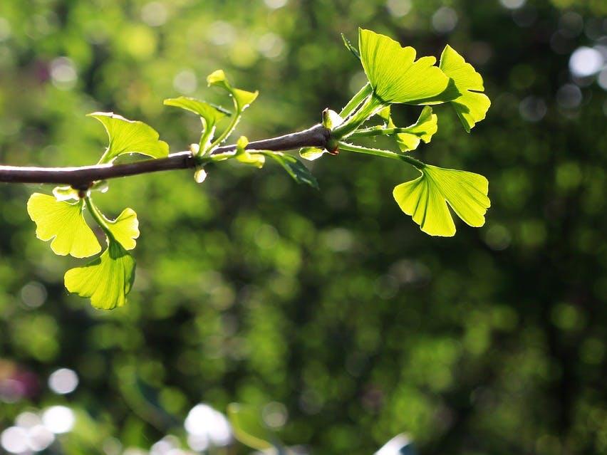 Gingko tree leaves spring