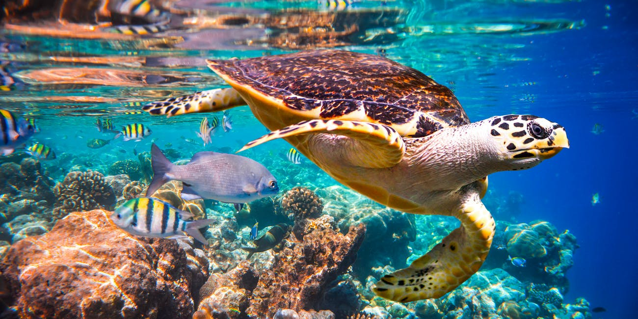 Hawksbill Turtle in a coral reef