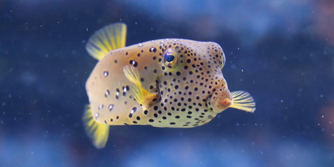 Potent, Lethal Pufferfish Poison Has Unexpected Role in Relieving Pain
