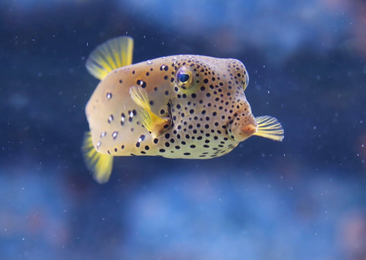 Lethal Pufferfish Poison Has Unexpected Role in Relieving Pain
