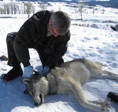 female gray wolf