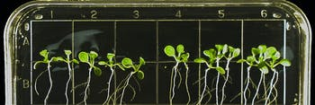 On the space station, thale cress is grown within transparent gel plates so scientists can observe changes in morphology.