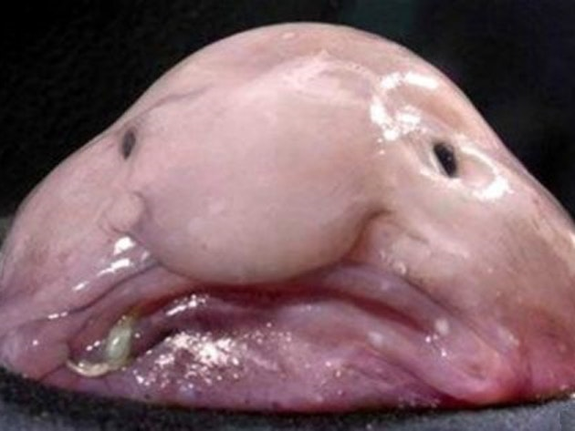 """Blob fish are considered """"the world's ugliest animal."""""""