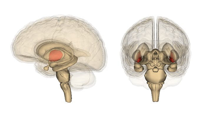 The red here are the amygdala.