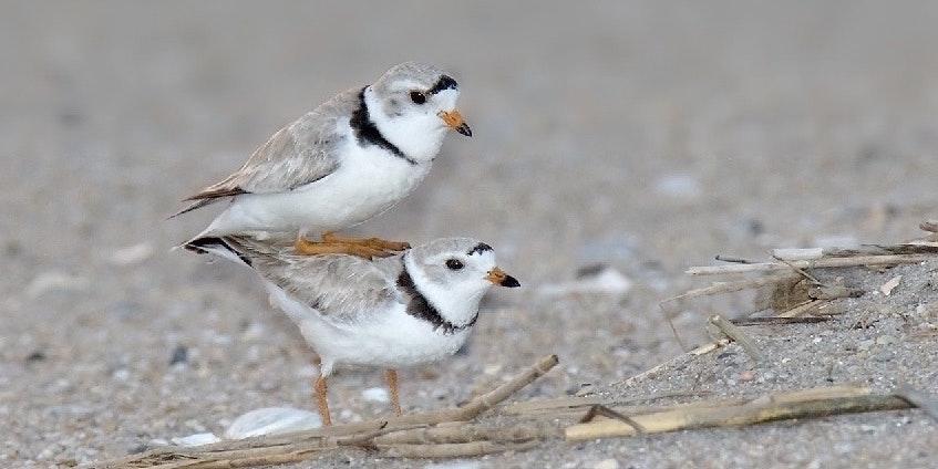 Unfaithful Birds Reveal Tinder's Evolutionary Downside