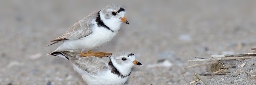 Polygamy slows down speciation in plovers, a new study suggests.