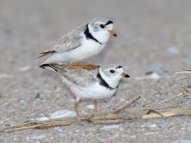 Unfaithful Birds Reveal Tinder's Evolutionary Downside