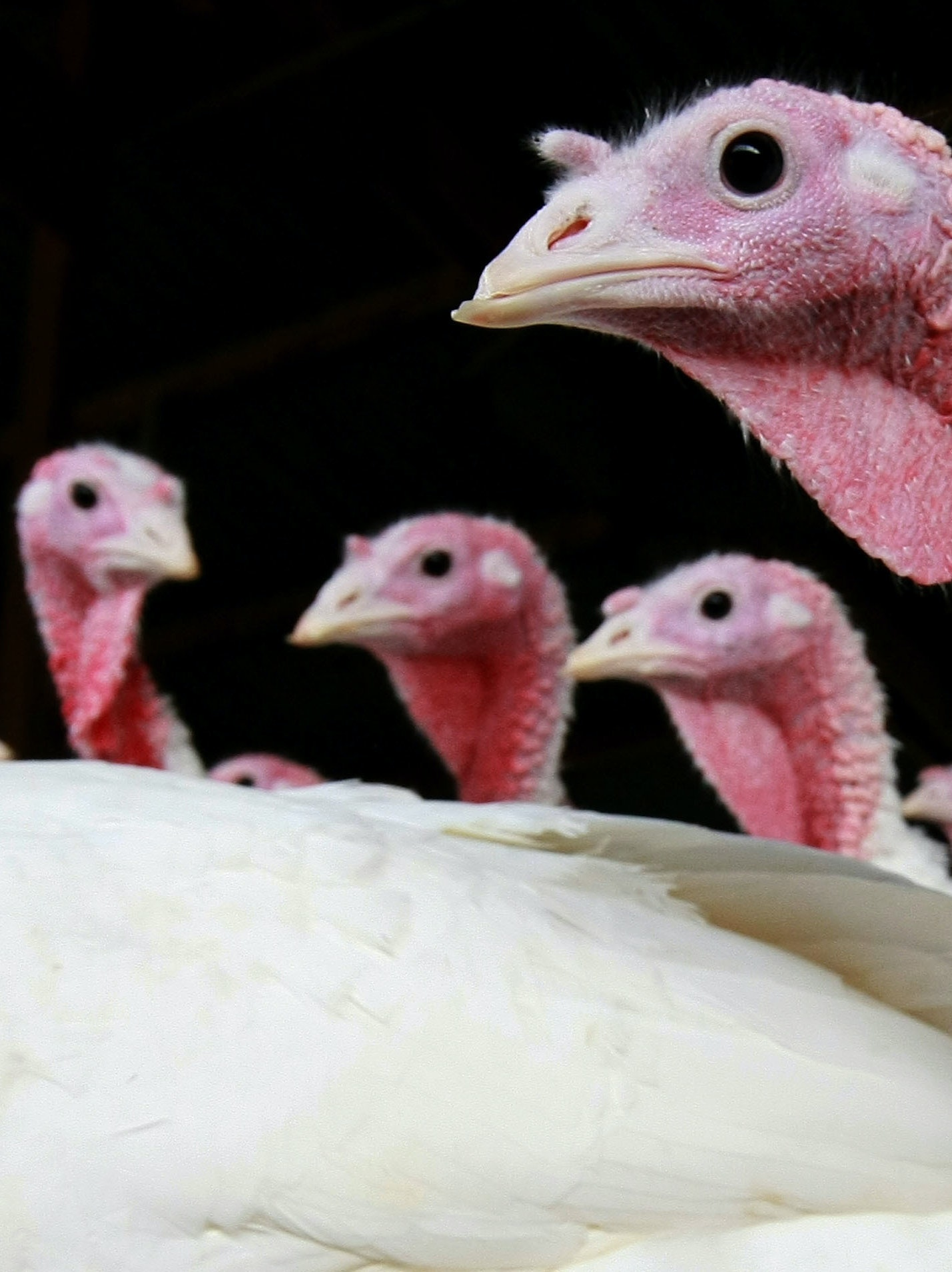 With Thanksgiving less than a week away, here's how you can bring a turkey on your travels.