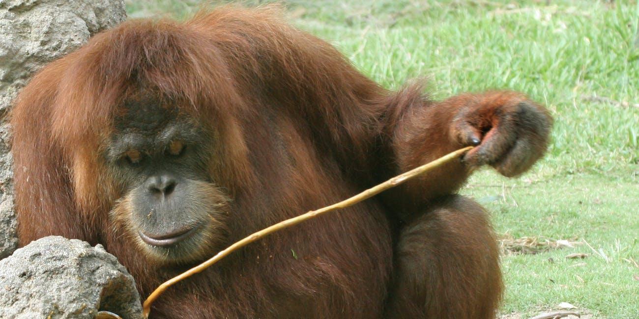 orangutans tools